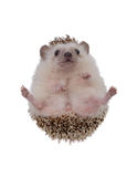Small hedgehog upturned . Stock Photo