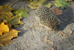 Small  hedgehog walking in the grass Royalty Free Stock Photo