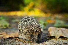 Small  hedgehog walking in the grass Stock Image