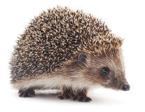 Small hedgehog. Small hedgehog on a white background Royalty Free Stock Photography