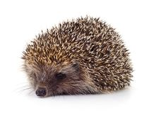 Hedgehog on white. stock photo