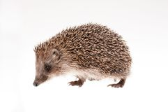 Hedgehog on white Royalty Free Stock Images