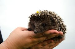 Small Hedgehog. Young Hedgehog in hands with the sky background Royalty Free Stock Photo