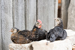 Small hens and rooster sitting on bricks Royalty Free Stock Photography