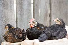 Small hens and rooster sitting on bricks Stock Photo