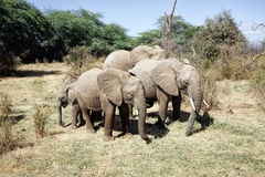 Small herd of African Elephants Royalty Free Stock Photo