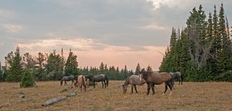 Small herd of wild horses grazing next to deadwood logs at sunset in the Pryor Mountains Wild Horse Range in Montana USA Stock Images