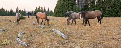 Small herd of wild horses grazing next to deadwood logs at sunset in the Pryor Mountains Wild Horse Range in Montana USA Royalty Free Stock Photos