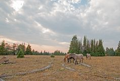 Small herd of wild horses grazing next to deadwood logs at sunset in the Pryor Mountains Wild Horse Range in Montana USA Stock Photo