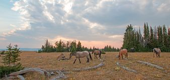 Small herd of wild horses grazing next to deadwood logs at sunset in the Pryor Mountains Wild Horse Range in Montana USA Stock Image