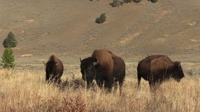 Small Herd of Bison stock video footage