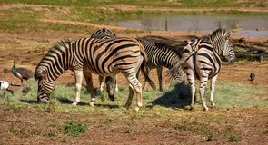 A small herd of black and white zebra stock images