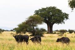 Small herd of buffalo near big baobab. Tarangire, Tanzania Royalty Free Stock Images