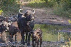 Small herd of buffalo at a waterhole 1 Royalty Free Stock Photos