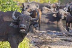 Small herd of buffalo at a waterhole 2 Stock Image