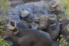 Small herd of buffalo at a waterhole 3 Royalty Free Stock Images