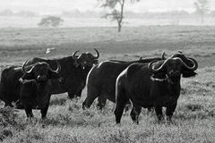 Small herd of cape buffalo Stock Photography