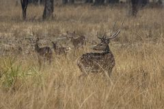 Small herd of Chital or spotted deer grazes on a meadow on a rai Stock Images