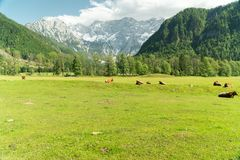 Small herd of cows eating fresh grass on an organic farm with beautiful mountain alps in the back stock photo