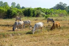 The small herd of cows is grazed on the slanted field. Thailand. The small herd of cows is grazed on the slanted field, Thailand Royalty Free Stock Photos