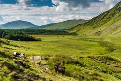 Cows and green landscape in the hills of Kerry Royalty Free Stock Photo