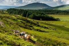 Cows and green landscape in the hills of Kerry royalty free stock images
