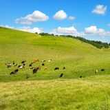 Small herd of cows on slope of picturesque hill with green grass Royalty Free Stock Images