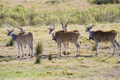 Small herd of Eland. (Taurotragus oryx) in a game reserve in South Africa Royalty Free Stock Image