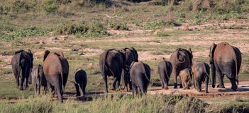 Small herd of Elephants in Kruger National Park Stock Photo