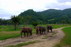 A small herd of elephants walk through the Northern Thai countryside. In Northern Thailand, the elephant is becoming more and more looked after, elephant Stock Photo