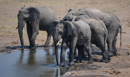 Small herd of elephants at a waterhole in Kruger Park Royalty Free Stock Photo