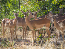 Small herd of female impala antelopes in tree savannah environment looking calm and peaceful in Moremi NP, Botswana Stock Photos