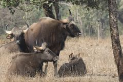 Small herd of gaurs or Indian bison that rests on a small forest Royalty Free Stock Images