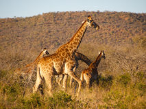 A small herd of Giraffe Royalty Free Stock Photo