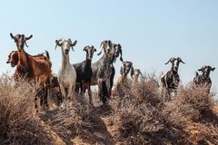 Small herd of goats standing on little hill, looking into camera as if they`re about to charge, clear sky in background.  royalty free stock image