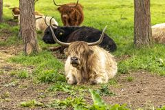 Highland cows in vatious colours lying down between the trees stock image