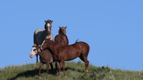 Small herd of horses against blue sky. On top of grassy hill stock video