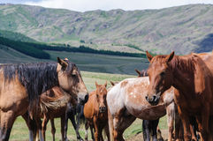 A small herd of horses in corral. In Altai rural region Royalty Free Stock Photo