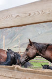 A small herd of horses in corral. In Altai rural region Stock Photography