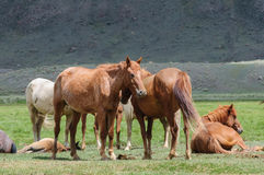 A small herd of horses in corral Royalty Free Stock Image
