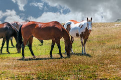 Small Herd of Horses Royalty Free Stock Images