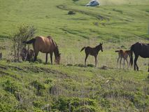 Small herd of horses feeding stock video footage