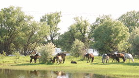 Small herd of horses and foals grazing stock video footage