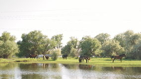 Small herd of horses and foals grazing stock footage