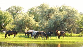 Small herd of horses and foals grazing stock video