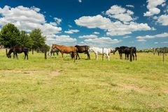 Small herd of horses grazing in a rural field behind a fence royalty free stock images