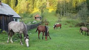 A small herd of horses grazing at the village house in the countryside. Young foal funny spread his paws to the side