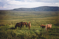 Small herd of horses in valley Stock Images
