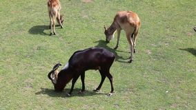 The small herd of Kobus Megaceros Antelope stock video footage