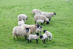 Small herd of lambs Stock Photo